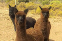 Alpaca Paddocks - Montagu Attractions