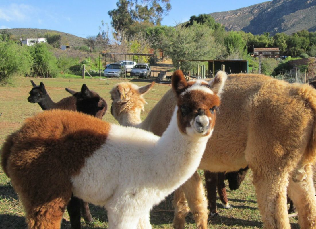 Alpaca Paddocks - Attractions in Montagu